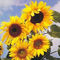 Sunflowers provide seeds for birds as well as adding a brilliant splash of colour