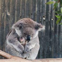 Koala parenting