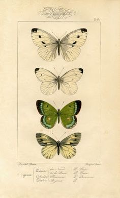 Click HERE for the Full Size Printable PDF Here's a wonderful Antique French Natural History Print! This one shows 4 wonderful Moths, or perhaps they are Butterflies. This one dates to about the mid 1800's. In addition to these lovely Winged Insects, there is also some fabulous looking Typography included on the print. I think …