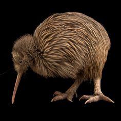 Rare Kiwi Bird in New Zealand. By Joel Sartore / Wild Creatures, All Gods Creatures, Beautiful Birds, Animals Beautiful, Endangered Plants, Endangered Species, Animals And Pets, Cute Animals, Kiwi Bird