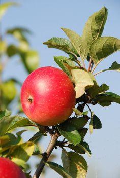 Dessert Apple : Apple Discovery