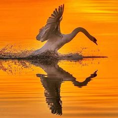 Swan....... #Amazing #Awesome #cool #colors #magic #majestic #dream #dreamers #serenity #zen #lit #life #live #love #light #idyll #imagine #inspired #incredible #incredible #inspiration #follow #photoftheday #Swan #Mirror #lake #sunset by gabriele_corno