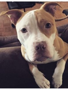 My new Pitbull her name is Patch. She loves everyone and everything! -Annie