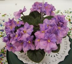 Miniature African Violets - Robs Calypso Beat - The Violet Barn