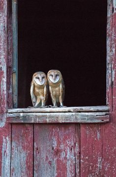 Barn Owls by Pamela Dimeler