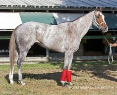 Perfectly Gray, a shot of her blood mark, rare but interesting on a thoroughbred. Blood marks usually appear on gray horses and are patches of hair that do not fade to gray.