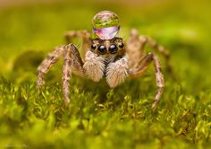 Enchanting Macro Photos of insects Caught in the Rain Spider Art, Spider Tattoo, Spider Webs, Jumping Spider, Fotografia Macro, A Bug's Life, Alien Creatures, Fancy Hats, Little Critter