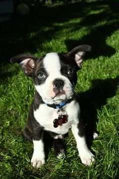 Boston Terrier puppy......Scooter.