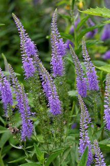 "Veronica longifolia ""Long leaf speedwell""  to 3', long bloom season"