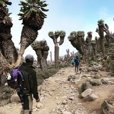 Giant Groundsels can be found along Mount Kilimanjaro in the forest zone Nature Is Speaking, Mount Kilimanjaro, Unusual Plants, African Safari, East Africa, Beautiful Places To Visit, Adventure Awaits, Trekking, Garden Landscaping