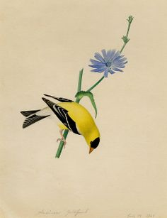 American Goldfinch ~ Isaac Sprague, 1840's