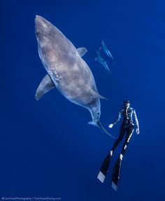 Ocean Ramsey and her team at One Ocean Diving have published incredible photos of the marine biologist swimming with a large great white shark off the coast of Hawaii in an effort to spot light shark conservation. Oahu, Largest Great White Shark, Shark Conservation, Underwater Images, Underwater Photographer, Biologist, Marine Biology, Ocean Creatures, Humpback Whale
