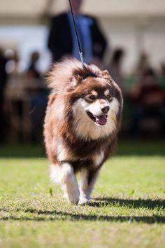 Infindigo Mailat Loki - Southern Counties championship dog show 2017 - Photo by Adele Yuhong Liu Alaskan Malamute, Samoyed, 2017 Photos, Dog Show, Dog Breeds, Husky, Puppies, Adele, Pets