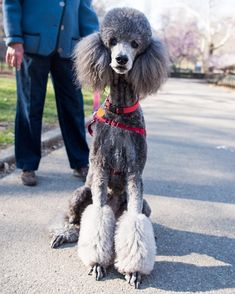 """Zoey Standard Poodle (8 y/o) Central Park New York NY  """"She just had her haircut. I can't get down the street without people asking about her. I've had poodles before  there's just something special about her."""" #thedogist"""