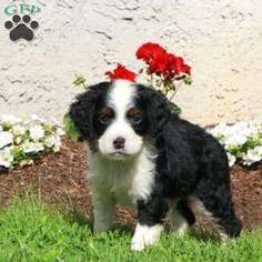 Mini Bernedoodle Puppy in Strasburg, PA