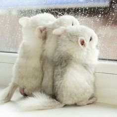 Chinchillas looking out of the window