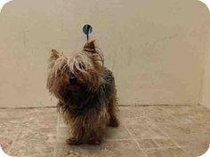 Whitestone, NY - Yorkie, Yorkshire Terrier Mix. Meet Mac, a dog for adoption. http://www.adoptapet.com/pet/11477207-whitestone-new-york-yorkie-yorkshire-terrier-mix