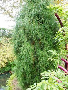 Thuja orientalis 'Balaton' at Arboretum Trompenburg