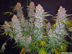 New Co Op: Cannabis Bud Nannies/Mannies! In Any US State Where