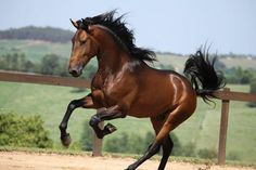 The Lusitano Collection is a trademark created by five of the premier world breeders of the Lusitano horse. Most Beautiful Horses, All The Pretty Horses, Animals Beautiful, Cute Horses, Horse Love, Horse Photos, Horse Pictures, Cavalo Wallpaper, Reining Horses