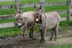 Awapuni Donkey Stud
