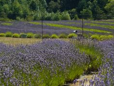 Pelindaba Lavender Farm, San Juan Island photo by Joanne