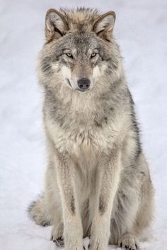Timber wolf(Canis lupus) in snow. Wolf Images, Wolf Photos, Wolf Pictures, Beautiful Creatures, Animals Beautiful, Cute Animals, Perros Bull Terrier, Tier Wolf, Tier Wallpaper