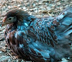 Blue-Laced Red Wyandottes Whynot Farm on Snow Creek 31 Tobacco Lane,  Statesville, NC  28615-9276 P: 336-202-9694