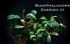 Bucephalandra Collection - rare plants from Borneo Freshwater Aquarium Plants, Planted Aquarium, Aquarium Fish, Rare Plants, Aquatic Plants, Borneo, Fresh Water, Plant Leaves, Fish Tanks