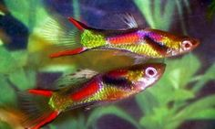 ≥ Endler Guppy Mix (Poecilia wingei) - Vissen | Aquariumvissen - Marktplaats.nl