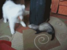 Why Furry Ferrets Are Funny And Freaking Fantastic