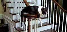 This Boston Terrier Loves Planking