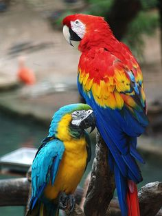 http://upload.wikimedia.org/wikipedia/commons/d/dd/Scarlet_Macaw_and_Blue-and-gold_Macaw.jpg