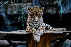 El Refugio's Otorongo engaged in a staring contest! Jaguar, Before Us, Animal Shelter, Mother Earth, Wildlife, Cats, Animals, Shelters, Naturaleza