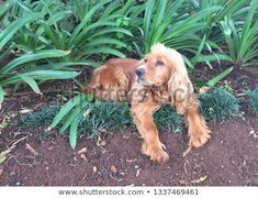 Find Cocker Spaniel Light Brown stock images in HD and millions of other royalty-free stock photos, illustrations and vectors in the Shutterstock collection. Thousands of new, high-quality pictures added every day.