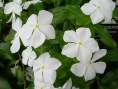 white perinkles white garden