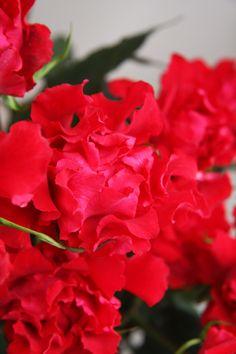 rose Andalucía
