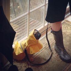 Rainy day pug