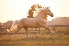 Stunning picture of a palomino Most Beautiful Horses, All The Pretty Horses, Animals Beautiful, Majestic Horse, Majestic Animals, Horses And Dogs, Wild Horses, Horse Photos, Horse Pictures