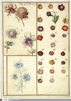 Karlruher Tulpenbuch, 1730