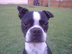 JJ my Boston Terrier :)