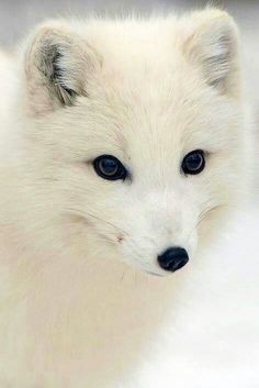 Artic Fox- My Favorite type of fox!