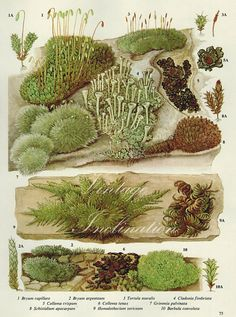 Vintage Antique WALL MOSS and Lickens illustration, book page, book print, bookplate 75