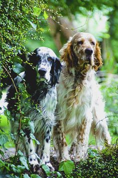 no finer dog than an English Setter- lazy in the house, SO LOVING to all, great field dog if you hunt, super walking/running companion, no slobber, minimal shed, hearts of gold