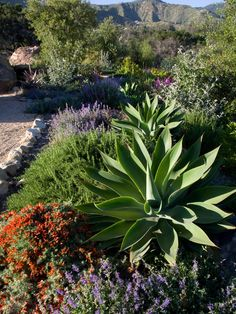 Mediterranean garden with drought tolerant agave, lavender & rosemary-a beautiful combination.