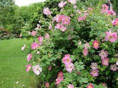Rosa 'Complicata' is a strong-growing, medium-sized shrub rose with fragrant single flowers, 11cm in diameter, borne in clusters in mid-Summer, followed by Autumn hips. It can make as much as 2.5-4m in height and 1.5-2.5m in width. An excellent rose particularly in an informal setting.