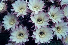 Kakteen mit Musik Die prächtigen Blüten der Kakteengattung 'Echinopsis' werden hier kombiniert mit der virtuosen Blockflötensonate d-moll von Georg Philipp Telemann, gespielt von Martin Hermann, Blockflöte und Georg Lawall, Gitarre.