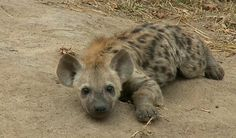 #SafariLive  Young Hyena cub  http://www.wildsafarilive.com/   May 7, 2015 sunrise drive