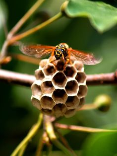 Yellow Jacket on Nest!  Call A1 Bee Specialists in Bloomfield Hills, MI today at (248) 467-4849 to schedule an appointment if you've got a stinging insect problem around your house or place of business! You can also visit www.a1beespecialists.com!
