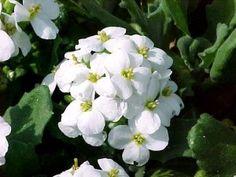 Cooks thesaurus edible flowers tasty blooms pinterest edible edible flowers alpine cress mightylinksfo